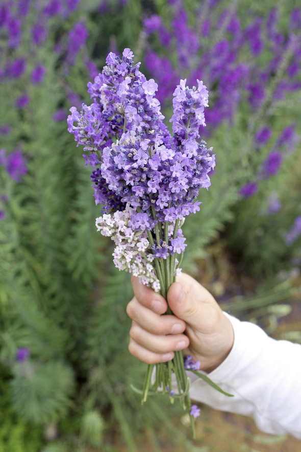 Best lavender for cooking