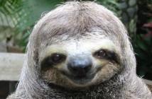 big sloth