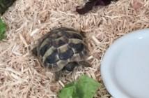 christmas tortoise