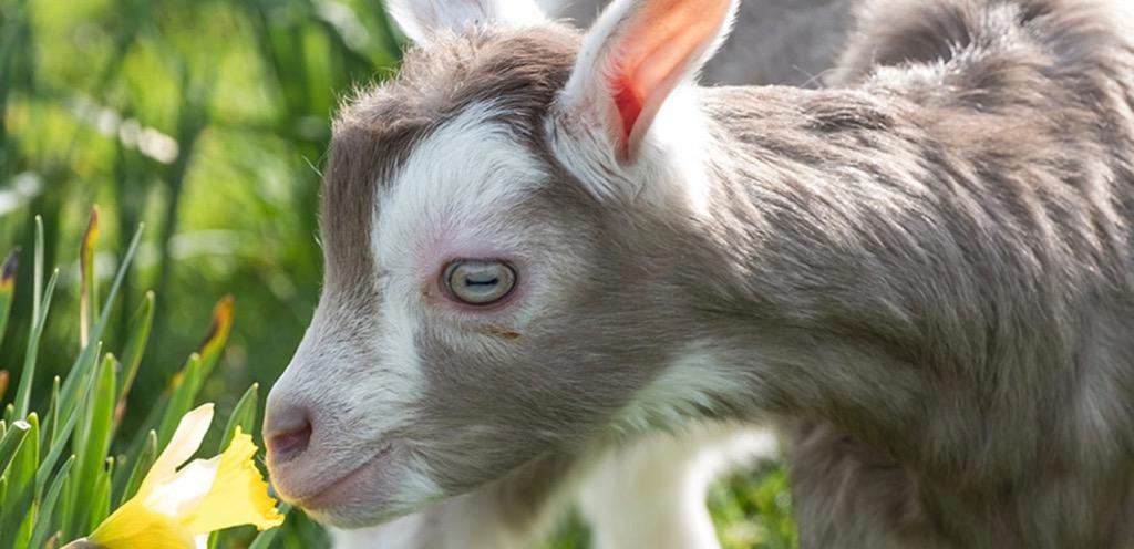 """""""A Chuckling Goat smelling a daffodil"""""""