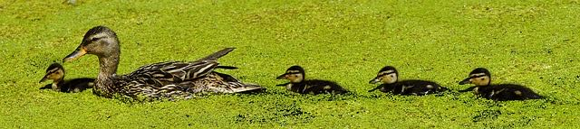 Ducks swimming in a row / becoming parents in later life