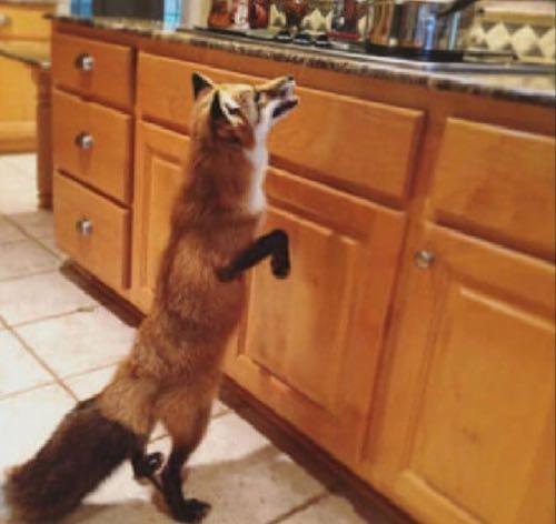 For Fox Sake - Where Was Tonto?