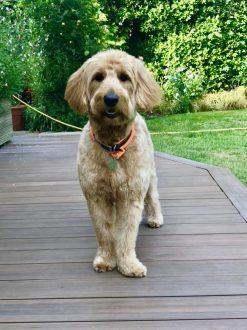 Golden Doodle / dog buddy