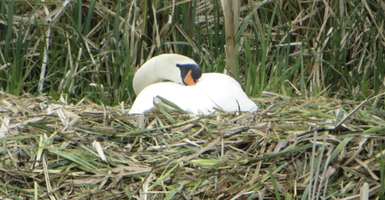 Swan nesting from post Lockdown Week 4: Have we Peaked? Or are we on a slow descent to....