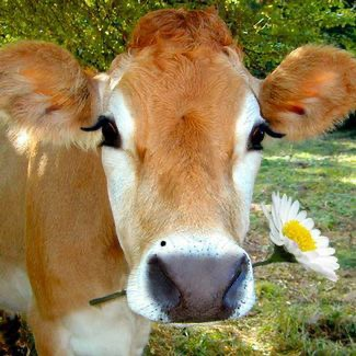 A jersey cow