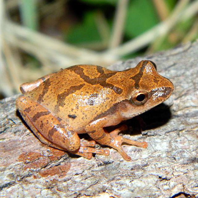 Fleeting Delights - the emergence of Spring in Southern Ontario  The Spring Peeper