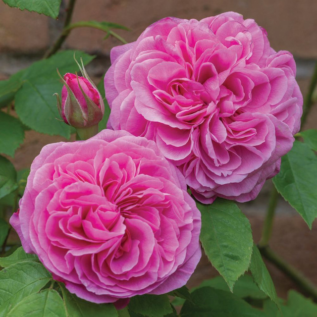 Gertrude Jekyll rose: Scented Summer Plants that will fill your garden with joyous fragrance