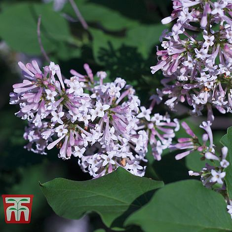 Lilac Miss Kim: Scented Summer Plants that will fill your garden with joyous fragrance