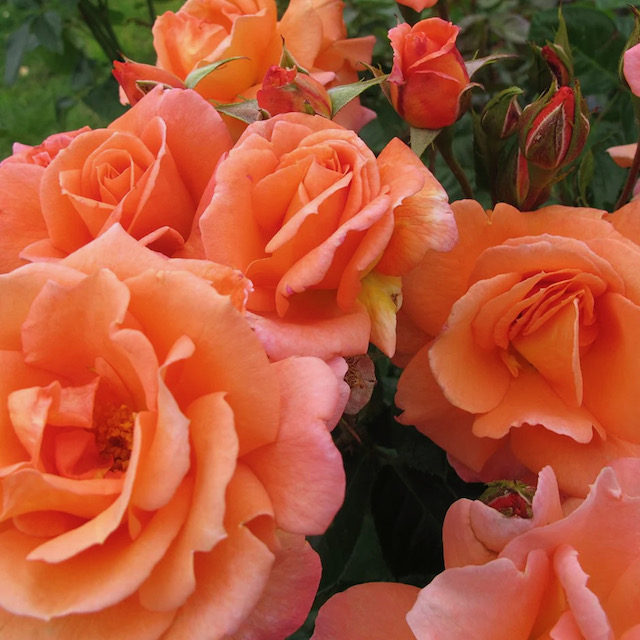 Scent from Heaven: Scented Summer Plants that will fill your garden with joyous fragrance